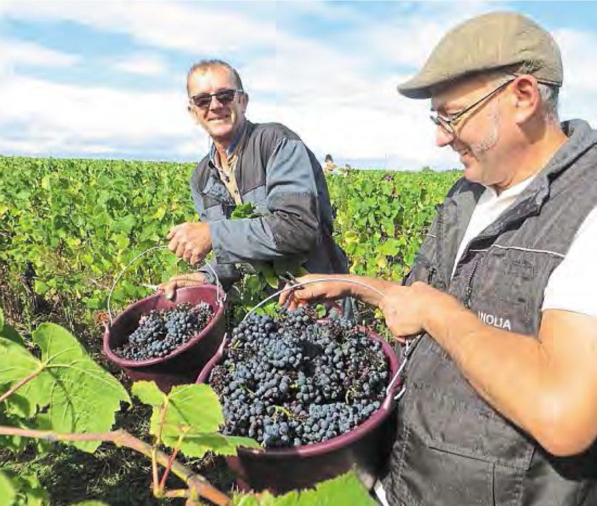 Les vendanges du berligou : un vin royal et précieux